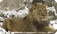 Go to watch Lion Cam