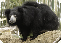 Sloth Bears Cam  (USA)