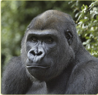 Gorilla Cam (USA)