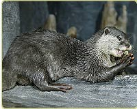 Asian small-clawed Otters Cam (USA)