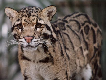 Go to watch Clouded Leopards Cam